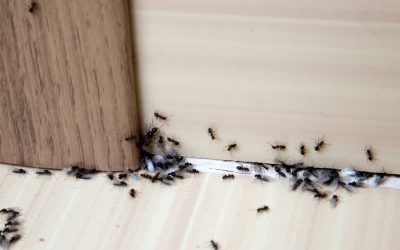 6 Steps to Ridding Your Home of Ants